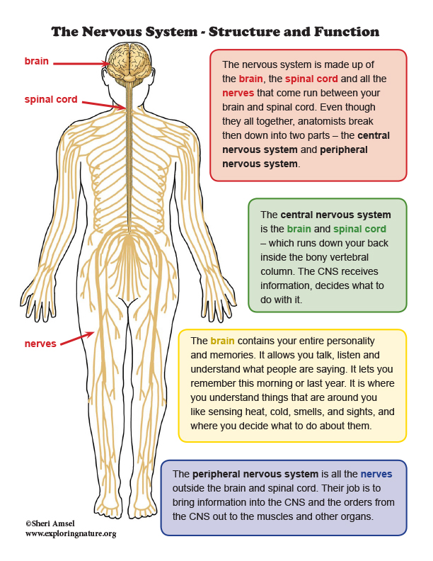 Nervous System - Structure and Function Mini-Poster