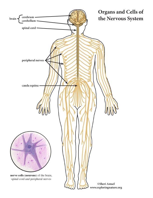 Nervous System Color Diagram Mini Poster