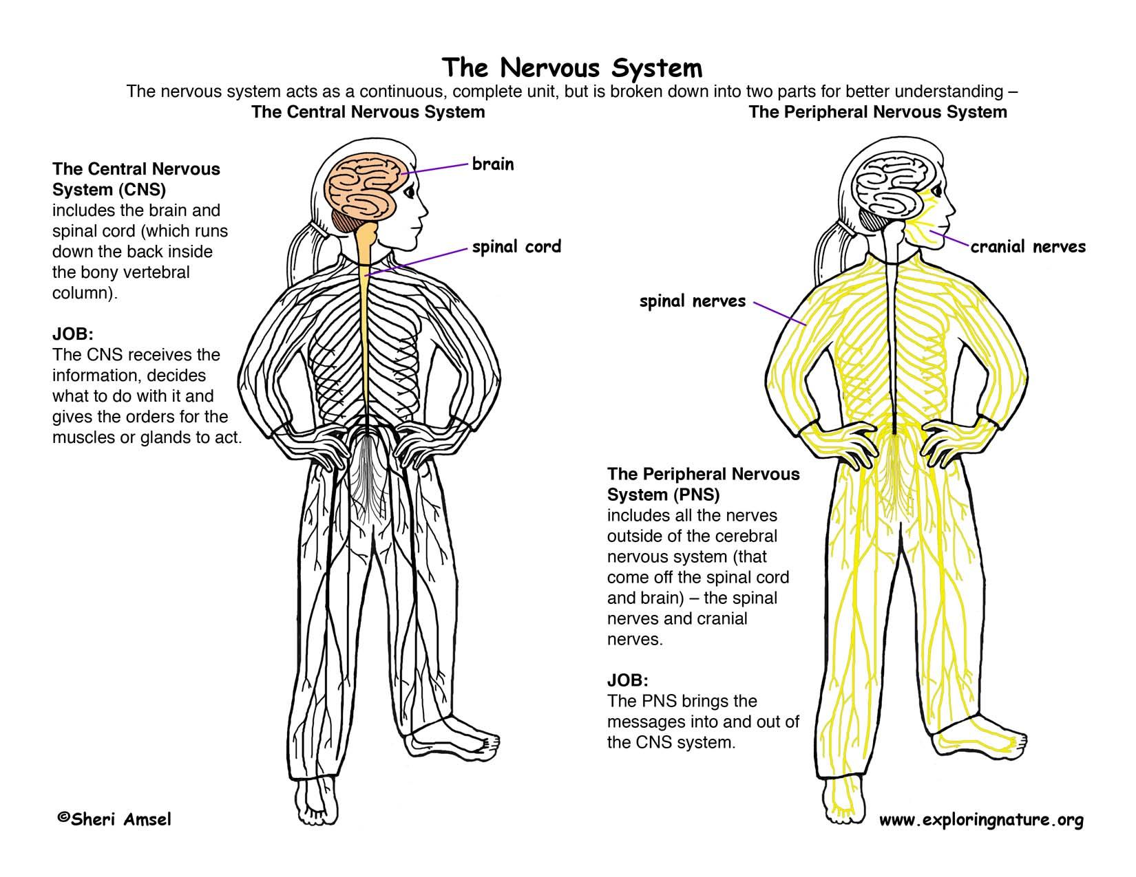 Gallery For gt Central Nervous System Diagram Unlabeled