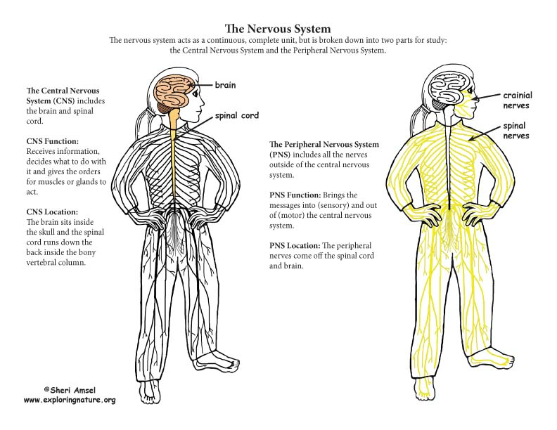 Nervous System Parts - The Peripheral Nervous System