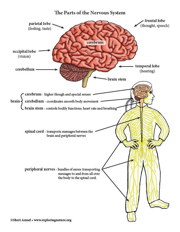 Nervous System Parts - Diagram