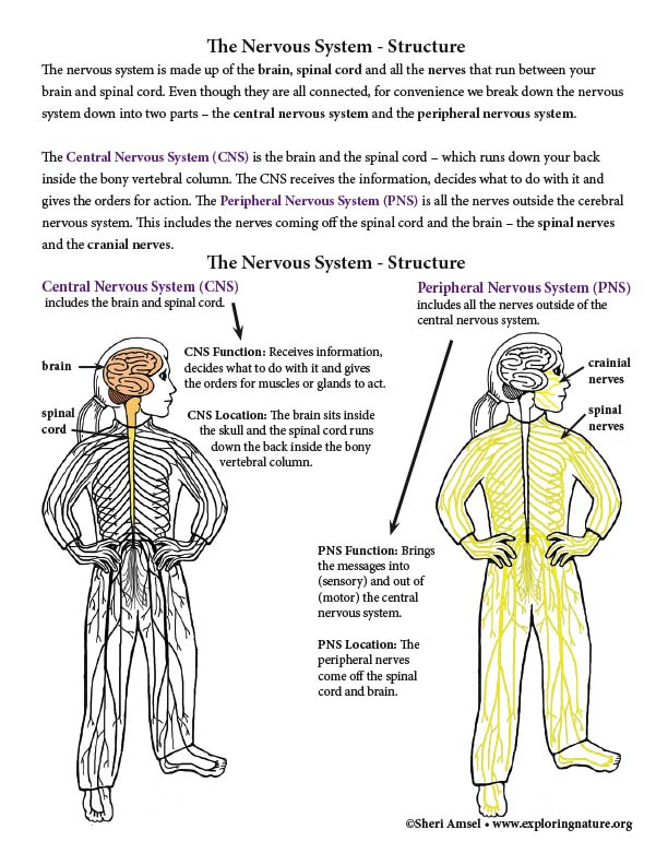 Nervous System Structures and Function (Advanced)