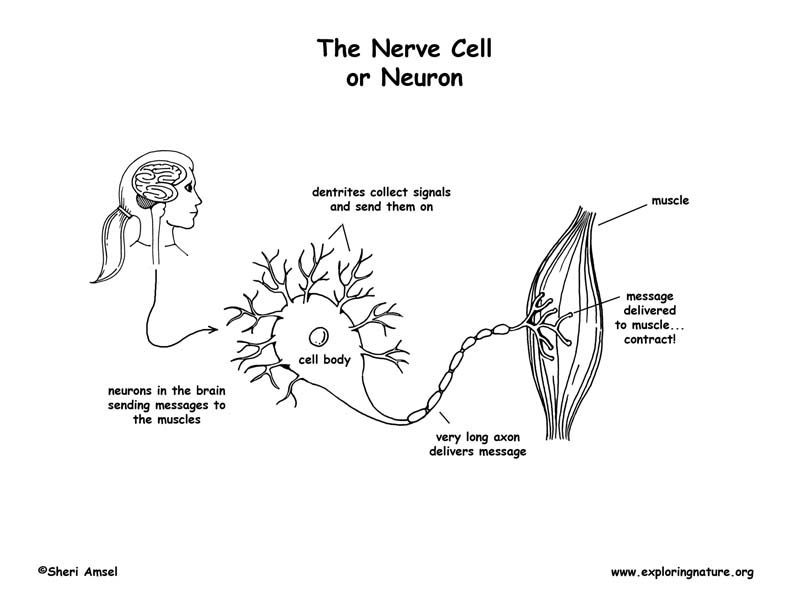 nerve cell  neuron  coloring page