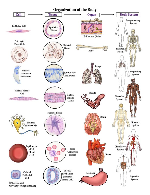 Connecting The Cells To Tissues To Organs To Organ Systems Diagram