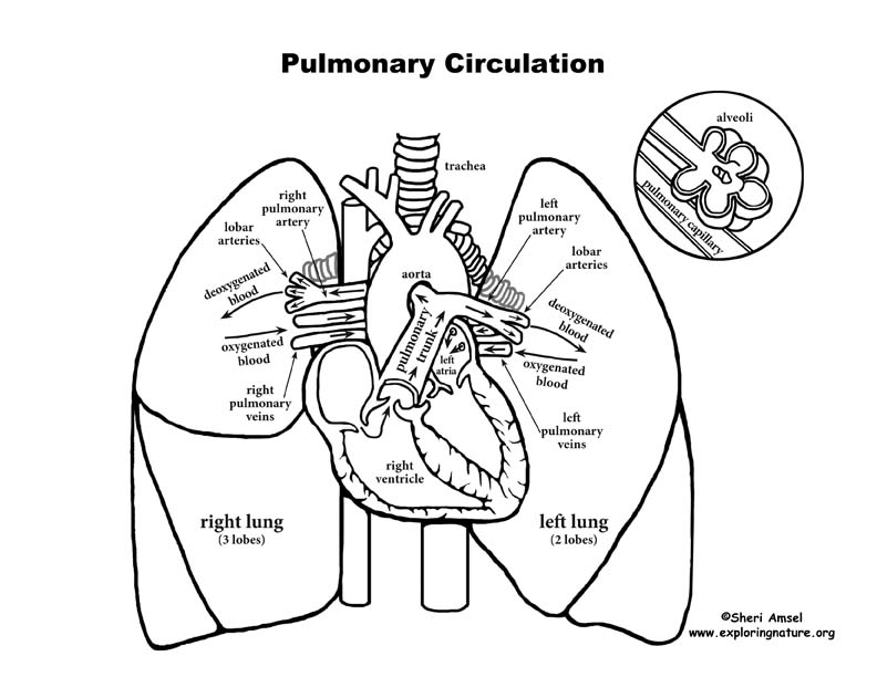 pulmonary circulation through heart and lungs advanced. Black Bedroom Furniture Sets. Home Design Ideas