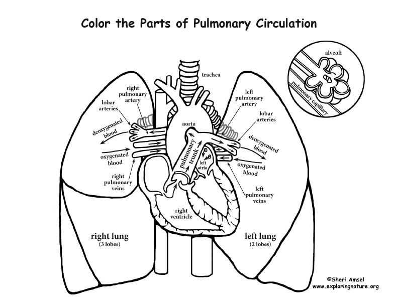 Heals Paralyzed Inside Coloring Page: Pulmonary Circulation Coloring Page