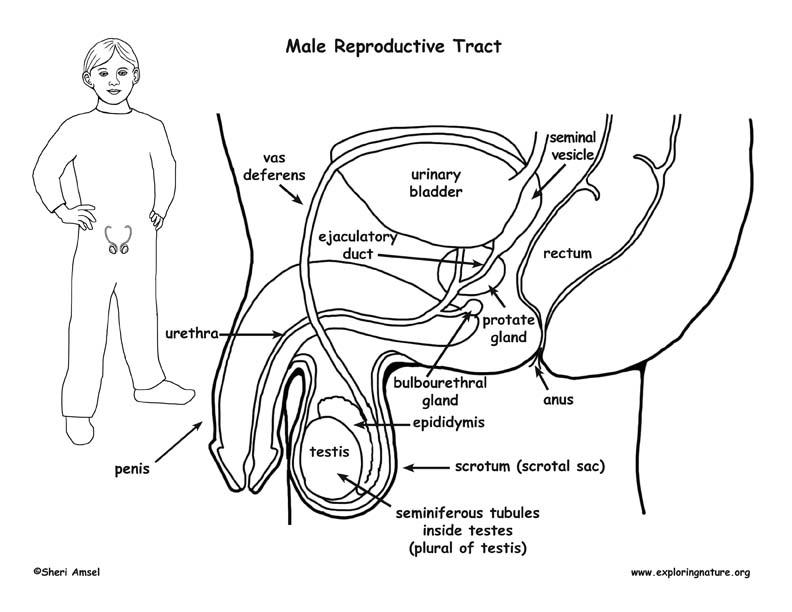 Boy Anatomy Diagram - Residential Electrical Symbols •