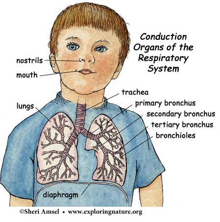 Nose, Pharynx, Larynx, Trachea, Bronchi, Bronchioles (Conduction Zone)