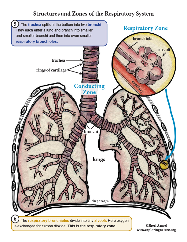 Respiratory System Organs and Structures - Read, Study, Assess