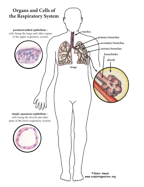 an overview of the respiratory system of the human body The primary organs of the respiratory system are the lungs blood carries the oxygen through the body to where it is latest on human respiratory system.
