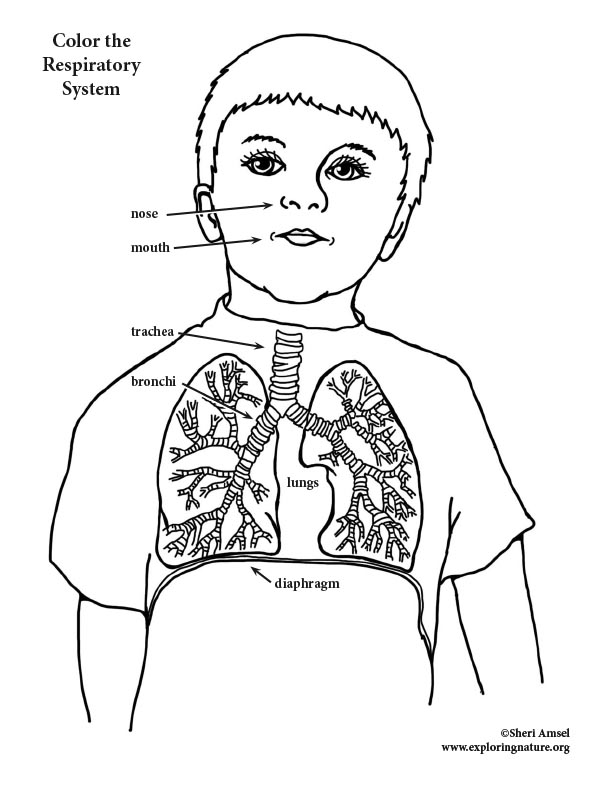 elementary body systems coloring pages - photo#11