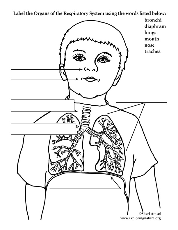Respiratory System Labeling (Elementary)