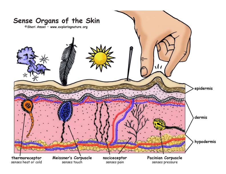 Sense organs of the skin senseorgansskincolor72g ccuart Image collections
