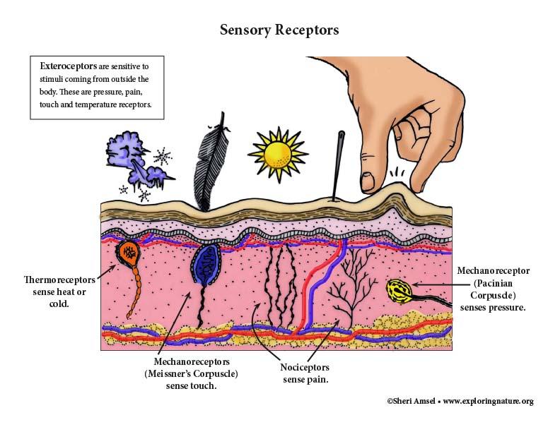 Sensory Receptors in the Skin - Diagram