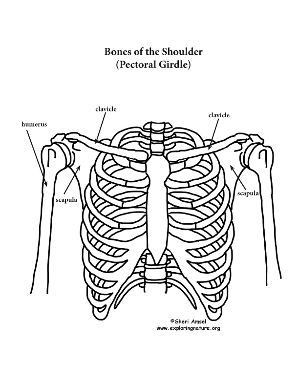 Shoulder Rib Cage And Upper Limb