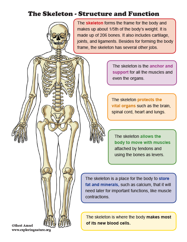 Skeleton - Structure and Function Mini-Poster