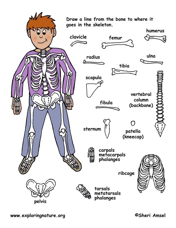 each of these 16 bones or bone groups to their place in the skeleton