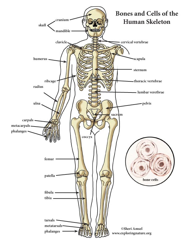 Skeletal System Color Diagram Mini Poster