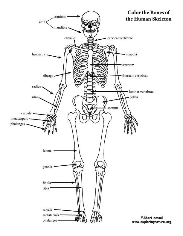 skeleton (labeled) coloring page skeletal system diagram labeled detailed frog skeletal system diagram #11