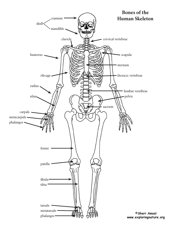 Skeleton – Skeletal System Diagram Worksheet