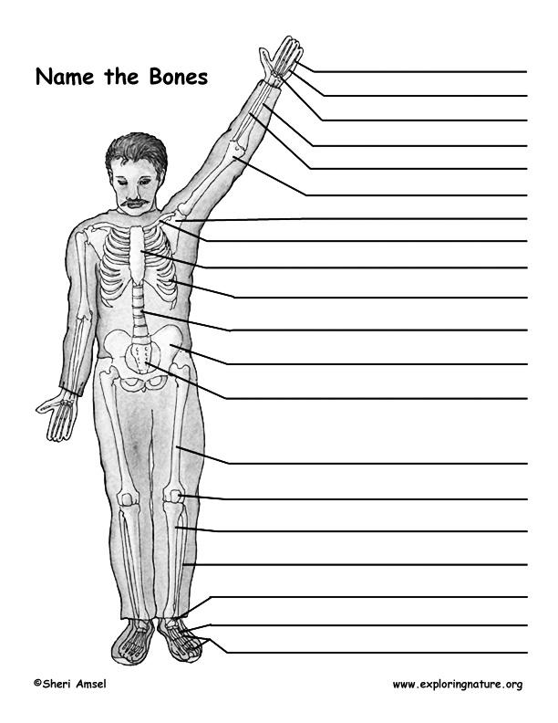 Make a Model of the Human Skeleton