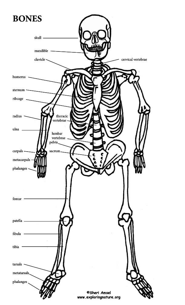 make a model of the human skeleton, Skeleton