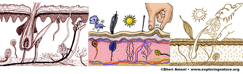 Integumentary System (Skin)