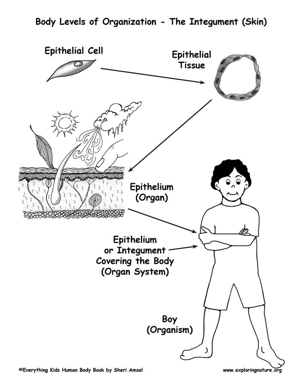 of Organization in the Body Cells to Organisms – Levels of Organization Worksheet
