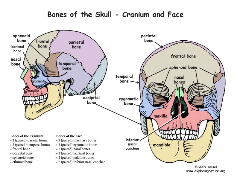 skull - bony features, Human Body