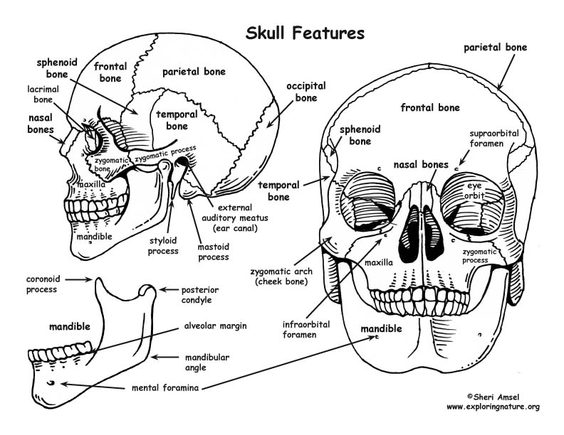 An Introduction to Skeletal System - The Bones and What ...
