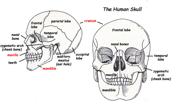 The skull is made up of the cranial bones (of the cranium) and the facial