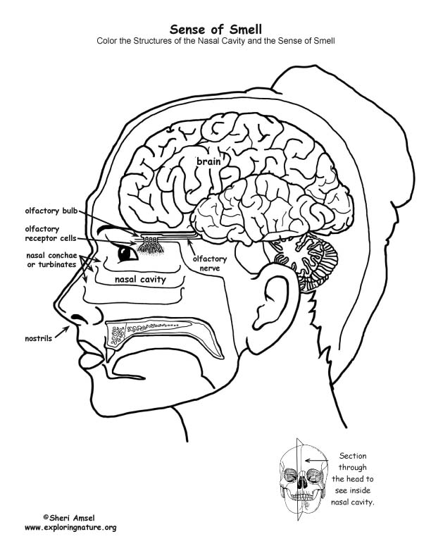 Sense of Smell Organs Coloring Page