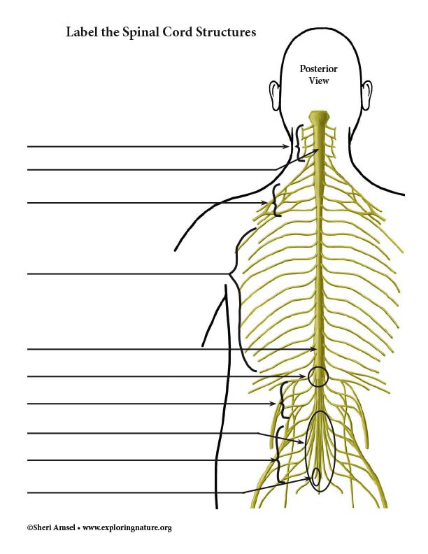 Spinal Cord Structures