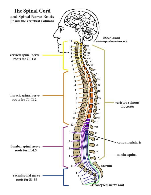 spinal nerve segment