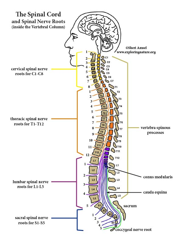 Spinal Cord  and Spinal Nerve Roots - Diagram