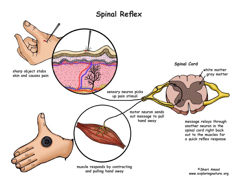 Spinal reflexes | physiology plus.