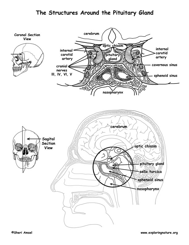Brain - Structures Around the Pituitary Gland