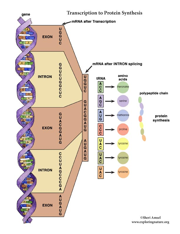 Transcription to protein Synthesis