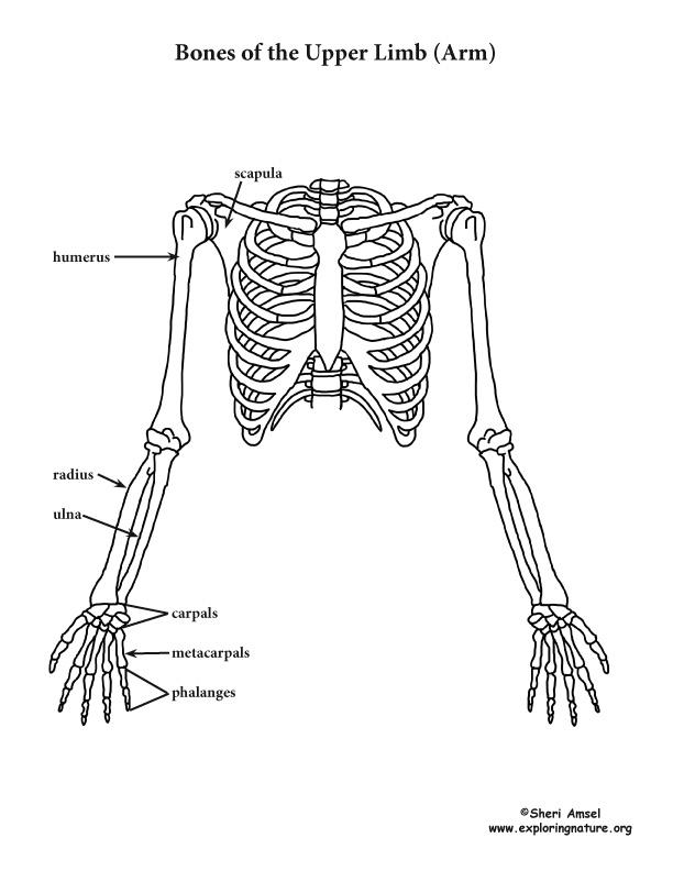 Skeletal System - Shoulder, Ribcage and Upper Limb