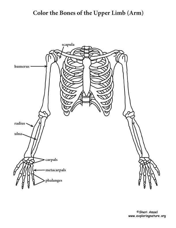 Upper Limb Of The Skeleton Coloring Page