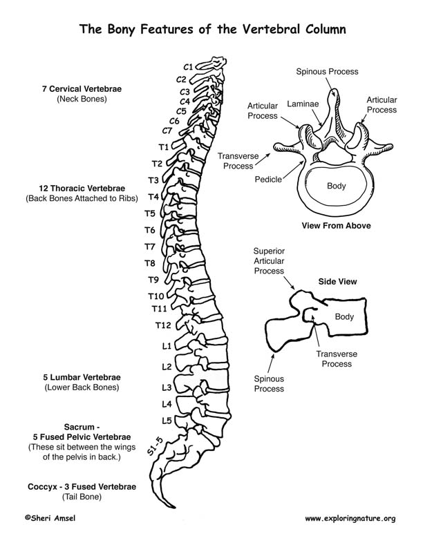 Skeletal System - Bony Features of the Vertebral Column