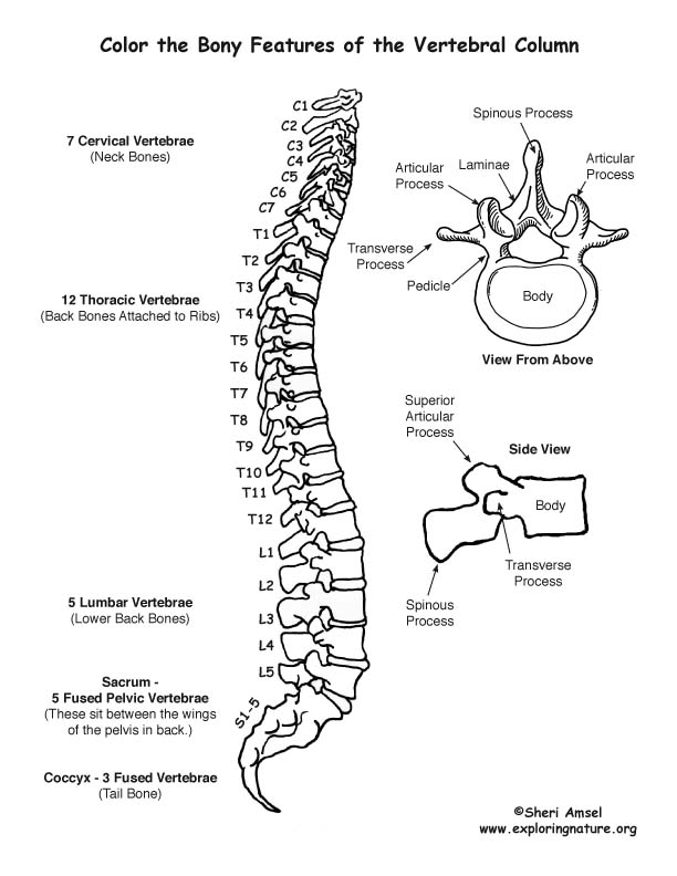 Printables Vertebral Column Worksheet vertebral column coloring page
