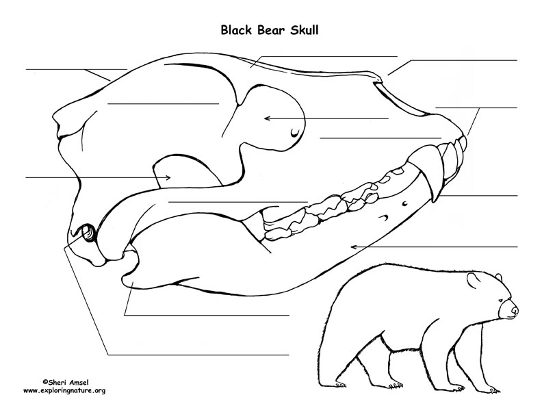 black bear skull diagram and labeling