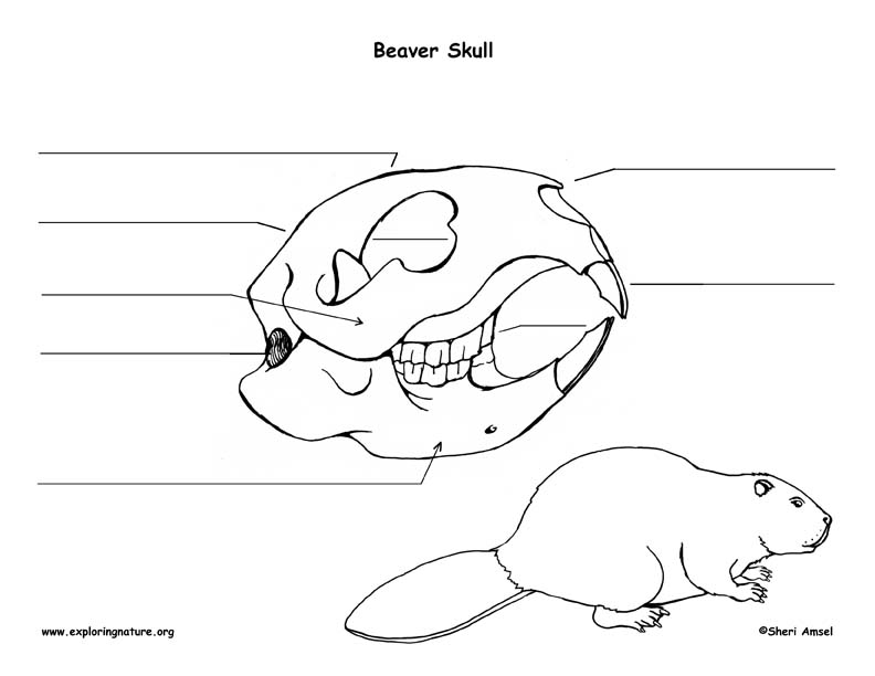 Beaver Skull Diagram and Labeling