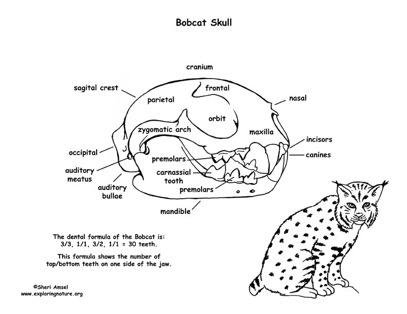 cheetah teeth diagram
