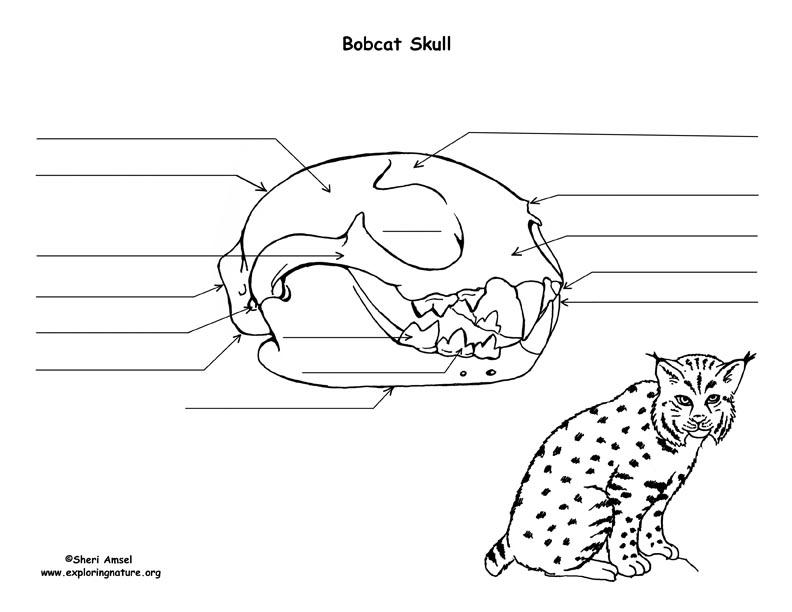 bobcat skull diagram and labeling