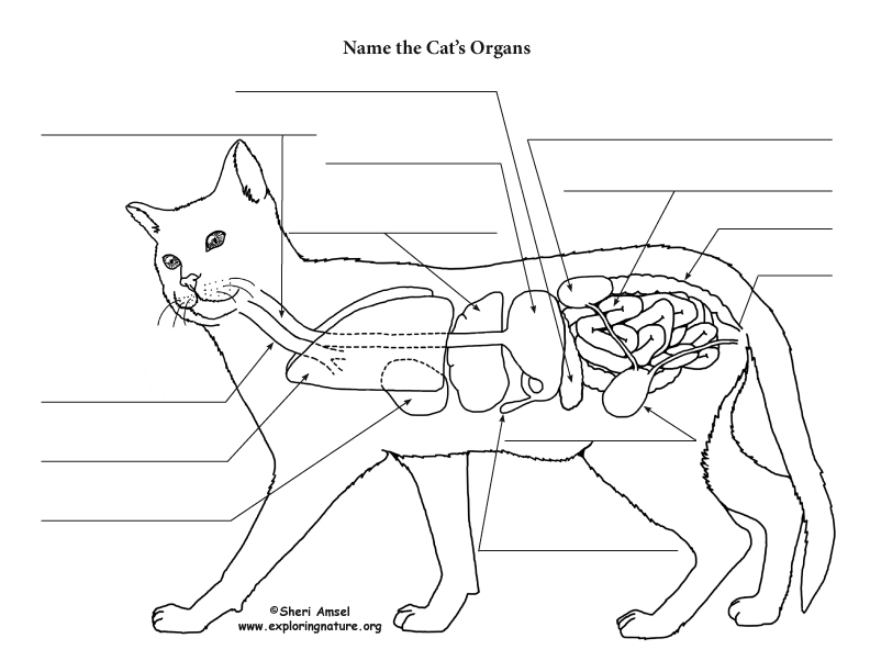College Cat Dissection Anatomy Coloring Pages Coloring Pages