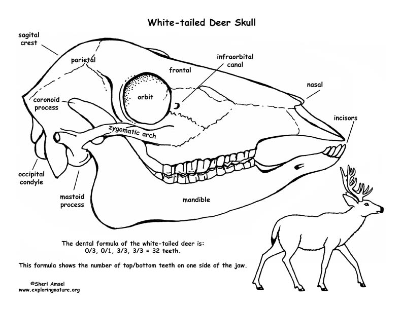 White Tailed Deer Skull Diagram And Labeling