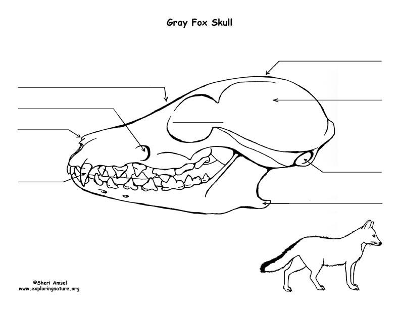 gray fox skull diagram and labeling