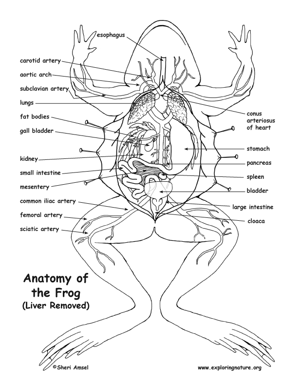 frog anatomy (under the liver) frog parts diagram frog anatomy diagram labeled #6